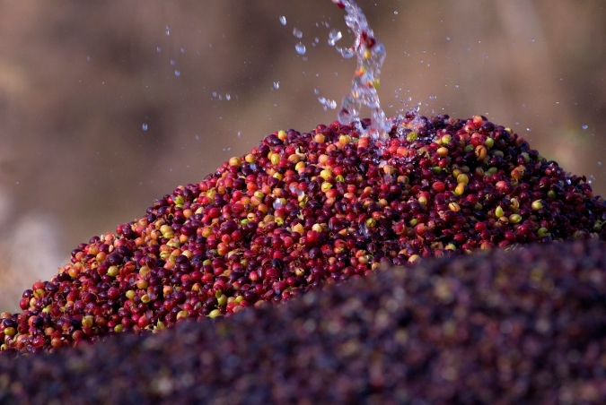Water splashes on pile of coffee berries.