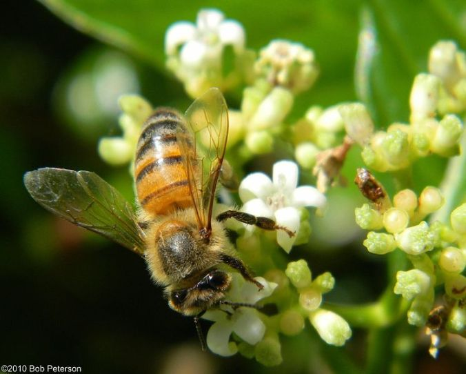 747px-Honey_Bee_on_Wild_Coffee_(4616797487)