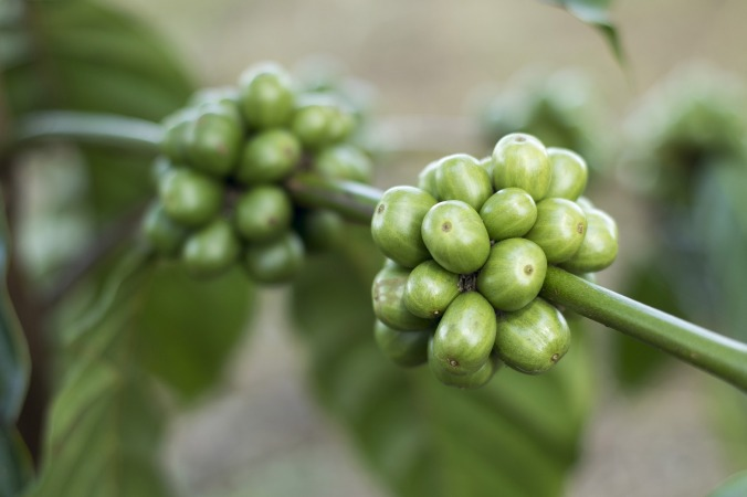coffee-cherry-green-1869340_1920