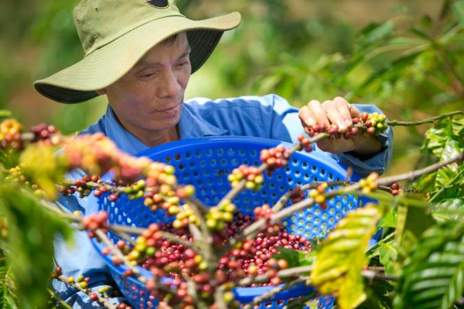 Coffee Farmer Picking Coffee